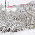 写真: 枝に降り積む