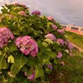 紫陽花に見送られ4
