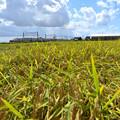 Photos: 収穫前
