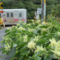 Photos: イタドリの花