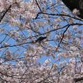 川根町家山の桜
