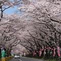 川根町 家山の桜