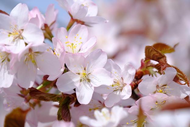 小樽の桜2018 手宮公園1