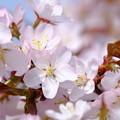 写真: 小樽の桜2018 手宮公園1