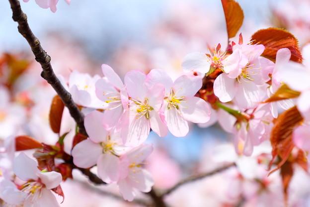 小樽の桜2018 手宮公園5