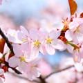 写真: 小樽の桜2018 手宮公園5