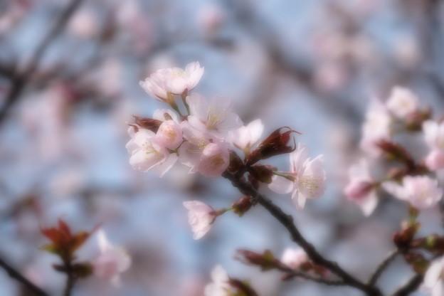 小樽の桜2018 手宮公園3