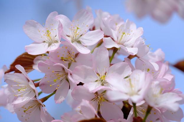 写真: 小樽の桜2018 手宮公園8