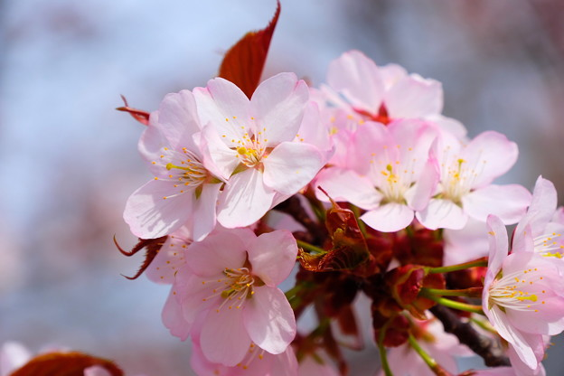 小樽の桜2018 手宮公園4