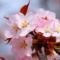 写真: 小樽の桜2018 手宮公園4