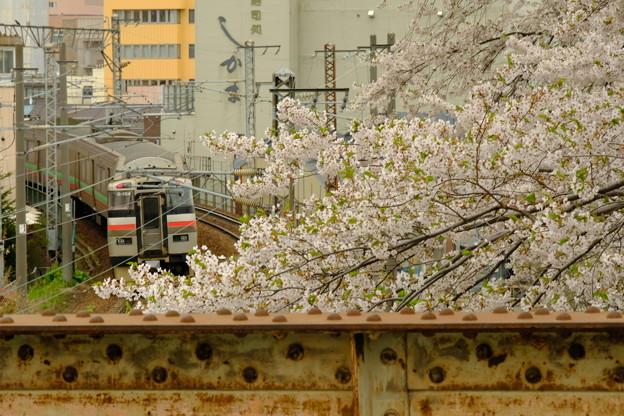 小樽の桜2018 花園橋