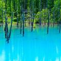写真: 美瑛 青い池3