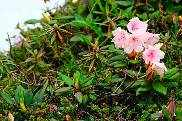 大雪山旭平に咲く花5