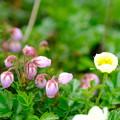 大雪山旭平に咲く花6
