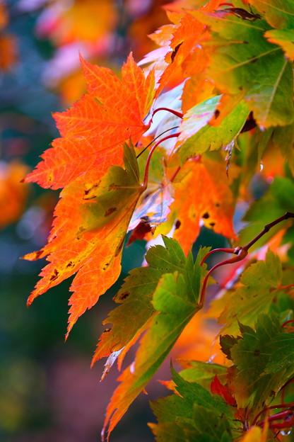 雨上がりの紅葉