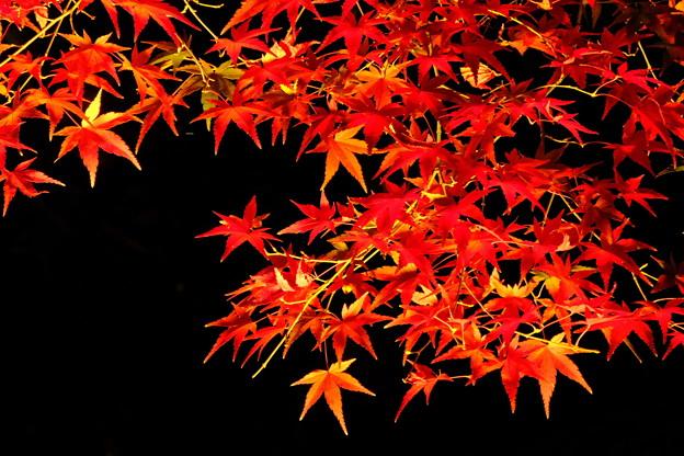 闇夜に浮かぶ紅葉
