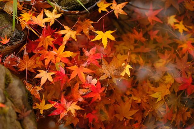 錦秋の京都 水面に浮かぶ散紅葉(天龍寺)