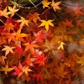 Photos: 錦秋の京都 水面に浮かぶ散紅葉(天龍寺)