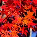 Photos: 錦秋の京都 宝筐院その2