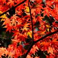 錦秋の京都 鹿王院の紅葉その2