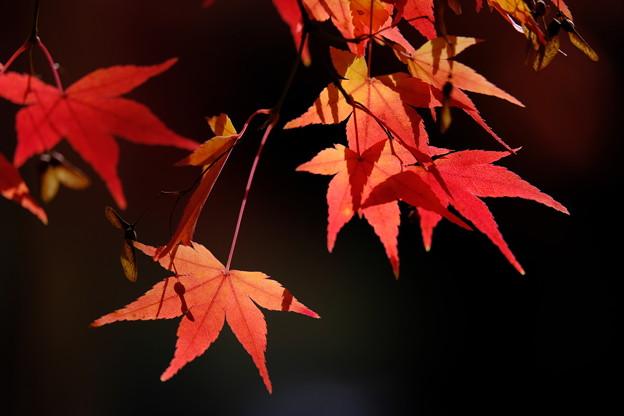 錦秋の京都 真如堂本堂裏の紅葉