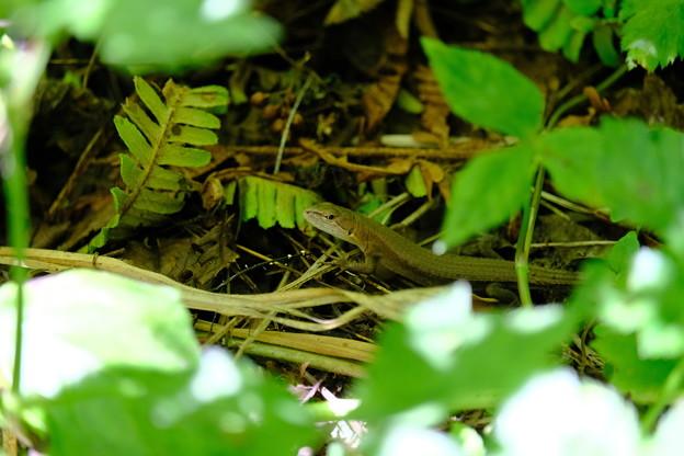 葉陰で休むカナヘビ