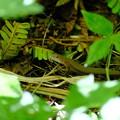 Photos: 葉陰で休むカナヘビ
