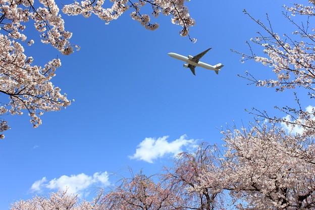 桜とJAL