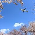 Photos: 桜とJAL