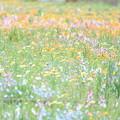 Photos: 一面の花畑