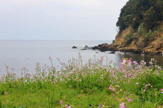 写真: 浜大根の花と