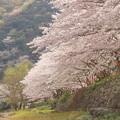 Photos: 桜の下で