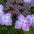 Photos: 咲きはじめ