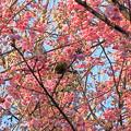 Photos: 早桜