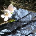 写真: 暖陽粉櫻