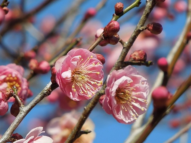 Photos: 早や咲き梅