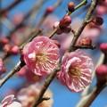 早や咲き梅