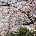 写真: 芳野台南公園テニスコートの桜