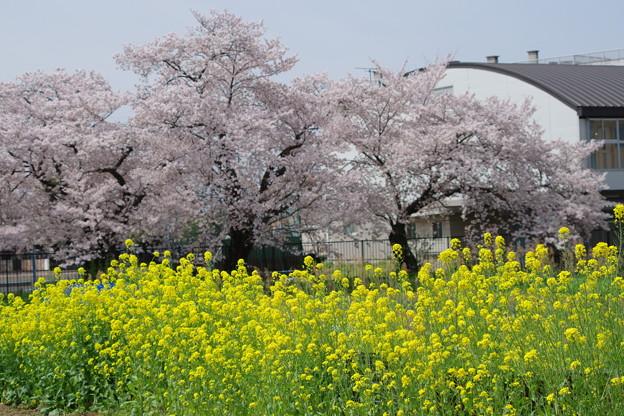 桜と菜の花を発見!!