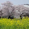 写真: 桜と菜の花を発見!!