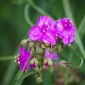 写真: 紫露草