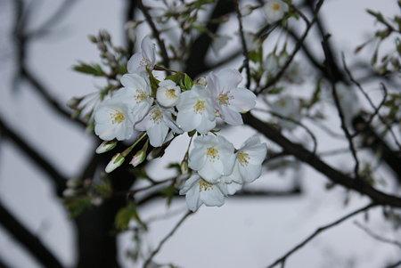 大島桜(オオオシマザクラ)