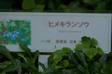 姫金瘡小草(ヒメキランソウ)