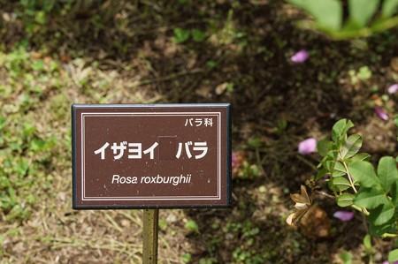 十六夜薔薇(イザヨイバラ)