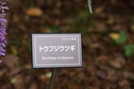 唐藤空木(トウフジウツギ)