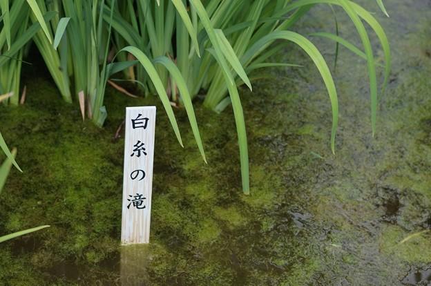 花菖蒲 白糸の滝