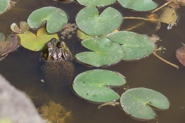 写真: なに蛙ですかね?