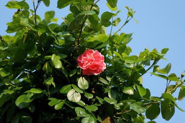 薔薇 ラビィーニア