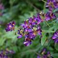 写真: 紫夏藤(ムラサキナツフジ)