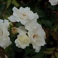 Photos: 薔薇 ホワイト・マジック